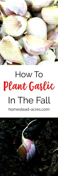 Growing Garlic: How To Plant Garlic In The Fall Growing Garlic: How To Plant Garlic In The Fall You can find Planting garlic in fall and more on. Planting Garlic In Fall, Plants, Plant, Planets