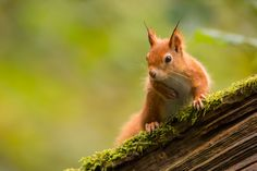 A wild Red Squirrel (Sciurus vulgaris) on an old mossy fallen Oak. Photographed on the Isle of Wight, one of only a few locations in the UK where Red Squirrels are safe from the larger Grey Squirrels.