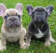 Might have to find a pair. Cute French Bulldog, French Bulldog Puppies, French Bulldogs, Bull Dog, Terrier Mix, Bullies, Cute Funny Animals, Life Goals, Animals Beautiful