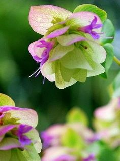 Flowers Y❤B <> Ornamental Oregano - Amazingly, 'Kent Beauty' has really thrived in my garden. Exotic Flowers, Amazing Flowers, My Flower, Beautiful Flowers, Simply Beautiful, Beautiful Gorgeous, Small Flowers, Backyard Plants, Garden Plants