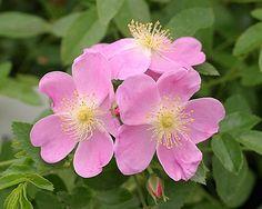 Rosalina - Winter Hardy Roses - Roses - Heirloom Roses