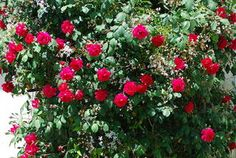 How to Propagate a Rose and Start a New Rose Bush from a Cutting - Yahoo! Voices - voices.yahoo.com