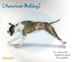 The American Bulldog is descended from working type bulldogs found on ranches and farms in the Southern and Midwestern United States. This confident breed may be aloof with strangers when they are young, but they bond strongly with their owners. They tolerate children well if socialized when young. Their strong prey drive may make them unsuitable for homes with cats and other small pets, but this behavior can be tempered through early socialization as well.