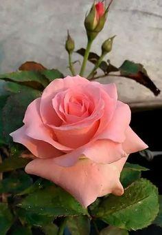 Captivating Why Rose Gardening Is So Addictive Ideas. Stupefying Why Rose Gardening Is So Addictive Ideas. Amazing Flowers, Beautiful Roses, My Flower, Pink Flowers, Beautiful Flowers, Foto Rose, Orquideas Cymbidium, Hybrid Tea Roses, Flower Photos