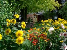 The sunny garden: helianthus perennial sunflower, heleniums, hibiscus, gaillardia..