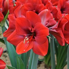 Amaryllis Ferrari, produce more flowers than Red Lion.