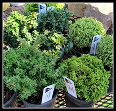 Dwarf Conifers for Miniature Gardens