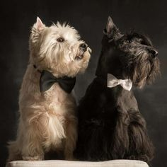 Westie and Scottie-