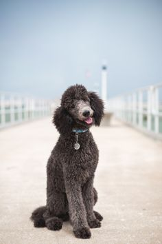"""guidedogintraining: """" Her Royal Highness. Current favorite photo I've taken. This poodle has my heart. """""""