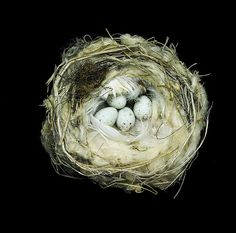 Arctic or Hoary Redpoll nest by Sharon Beals