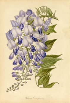 art nouveau wisteria | Samuel Holden. Wisteria consequana, from Paxton ...