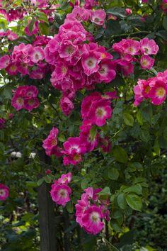American Pillar Rose | Flickr - Photo Sharing!