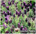 Sancho Panza Lavender Flower/Herb SEEDS - Spanish Lavender that blooms all summer long - Lavandula Stoechas Seeds