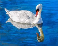 White Swan By LeeeAnn McLaneGoetz McLaneGoetzStudioLLC.com Lake Saint Clair Metropark is home to some of the most beautiful white swans.This one is so beautiful it can not take its eyes off of it's own reflection. #white Swan, #reflection,#birding