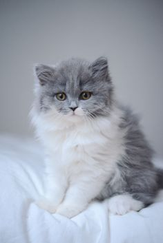 Photo : Vanessa Pouzet | Beautiful cat blue and white | British longhair kitten
