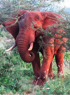 The big five top ten most dangerous animals in the world Where in the world would you see or find a red elephant? Do red elephants re. All About Elephants, Elephants Never Forget, Save The Elephants, Baby Elephants, Elephant Pictures, Elephants Photos, Asian Elephant, Elephant Love, Elephant Ears