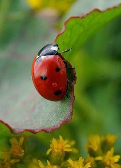Upon a leaf ...ladybug