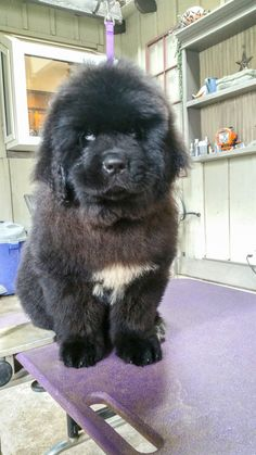Notta Bear There's No Place Like Home at Valhalla (Ruby) Newfoundland