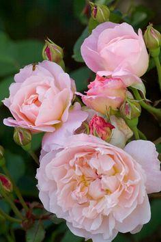 English Rose ~ 'Mary Magdalene'