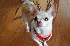 Tookie the red nosed reindeer!