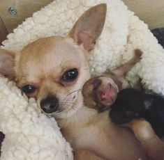 Sweet Chihuahua mama and babies. Sweet Chihuahua mama and babies. Cute Little Animals, Cute Funny Animals, Little Dogs, Cute Chihuahua, Chihuahua Facts, Teacup Chihuahua Puppies, Cute Dogs And Puppies, Doggies, Cute Animal Pictures