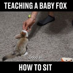 Just a baby fox learning how to sit   Foxes & Friends
