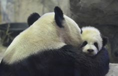Mei Xiang with her cub Bao Bao at the National Zoo on January 30, 2014. © FizzgigVA.