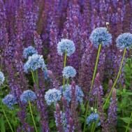 Buy Allium caeruleum from Sarah Raven: The only blue allium, this lasts brilliantly in both garden and vase and comes back in bigger swathes each year. Beautiful Gardens, Beautiful Flowers, And July, Spring Bulbs, Buy Plants, Allium, Garden Seeds, Salvia, Sparklers