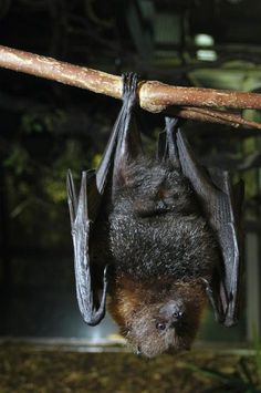 A Rodrigues Fruit Bat dangles from its perch in Woodland Park Zoo's Night House…