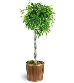Check out this #beautiful #floral arrangement: Braided Ficus Tree!