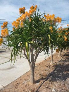 Aloidendron tongaense 'Medusa' (Mozambique Tree Aloe), formerly known as Aloe tongaensis 'Medusa', is a slow-growing, medium-sized tree. Unusual Plants, Rare Plants, Exotic Plants, Exotic Flowers, Tropical Plants, Tropical Gardens, Blooming Succulents, Planting Succulents, Planting Flowers