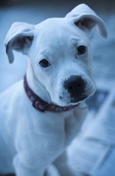 white #boxer #dog