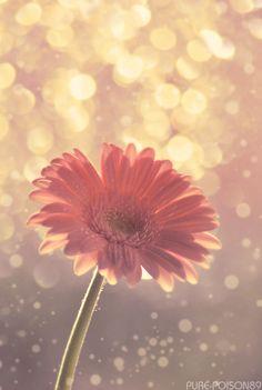 Gerber daisy... Favorite!