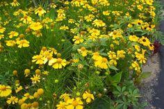 120 Helenium DAKOTA GOLD Live Plants Plugs Garden Home Patio DIY  Planters 342