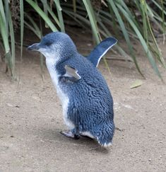 Little Blue Penguin - On my bucket list to see these little guys in Australia!