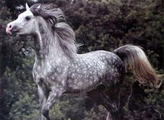Arabian Horse Arabian Horse Show - Western Competition Egyptian Stallion Breeding PIntabians