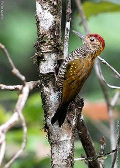 Golden-collared Woodpecker Veniliornis cassini - Google Search