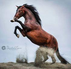 "Polubienia: 1,414, komentarze: 9 – Sandra López Photography (@sandral_photography) na Instagramie: ""Sultán PRE stallion owned by Garcia Family and trained by @espectaculo_ecuestre_ts_horses © Sandra…"""