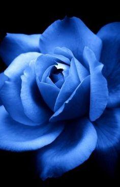 Błękitna Róża #wattpad #fanfiction