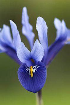 IRIS RETICULATA 'Harmony' - Bleu royal, accents jaunes. Variété populaire aux résultats éprouvés.