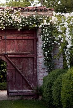 Climbing roses over gate