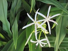 """Grand crinum lily blossoms, Crinum asiaticum (image by Mike Shell) - Illustration for """"On curing and healing"""" on my blog, The Empty Path"""