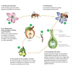 A reproducción das plantas con sementes. Cell Biology, Science Biology, Medicine Notes, Spanish Immersion, Science Worksheets, Spanish Classroom, English Lessons, Interactive Notebooks, Science Projects