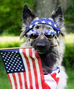 This German Shepherd is looking super patriotic