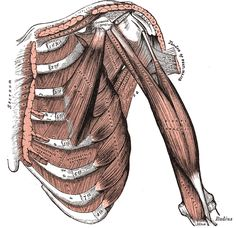 Gray's anatomy - Muscles Connecting the Upper Extremity to the Anterior and Lateral Thoracic Walls.