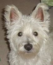 Linus on Hold is an adoptable West Highland White Terrier Westie Dog in Milton, ON. ON HOLD We have been overwelmed with interest in this boy so are no longer accepting applications. True to his breed...