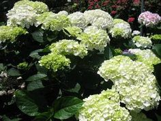 So Happy to hear this kind of response from one of our customers Jacquie of Portsmouth, NH... We sent her these white hydrangea pictured for a wedding 7-03-14... Jim what can I say, I had no idea they would be so gorgeous. They are all perfect and the subtle color in them is just what the bride wanted.After the wedding I will be posting glowing online reviews of your product.Truly amazing quality and customer service!!! You rock!!!:):) Jacquie Dodge