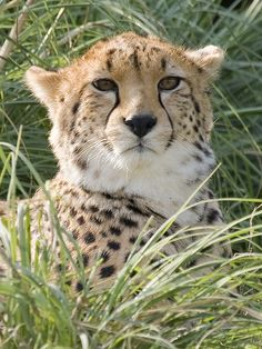 Cheetah by Trevor Dry on Flickr.  I'm not allowed to play cards cuz I'm a Cheetah