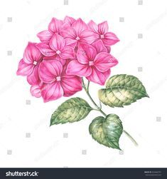 Blooming hydrangea flower watercolor illustration. Cute pink hydrangea in vintage style for botanical design. Handmade garland composition. Pink flowers with green leaves over white background.