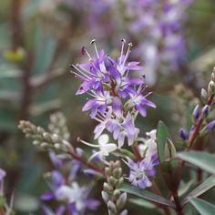 HEBE 'Caledonia'  (Véronique arbustive) : Petits arbustes à feuillage persistant, intéressants pour leur aspect décoratif permanent. Culture facile en sol poreux. Tiges et bordure du feuillage rouge pourpre. Fleurs bleu mauve.